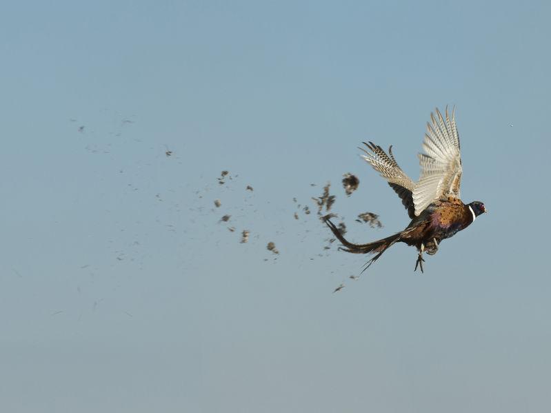 pheasant shot